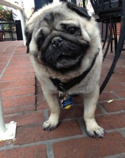 Benny the Pug